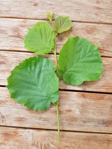 Zu welcher Baumart gehören diese Blätter?