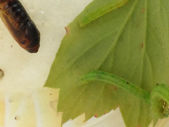 Raupe - (Tiere, Pflanzenpflege, Schädlinge)