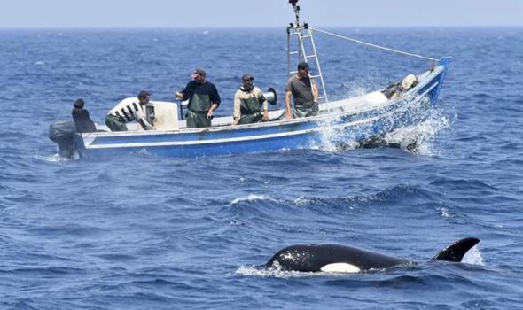 Zunahme von Angriffen durch Orcas vor Spanien und Portugal - wollen die Tiere uns etwas mitteilen?
