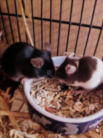 Das sind meine beiden am fressen - (Streit, Kastration, Farbmäuse)