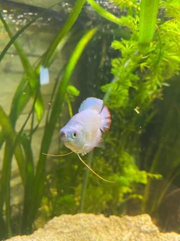 - (Aquaristik, Fischkrankheiten, zwergfadenfisch)