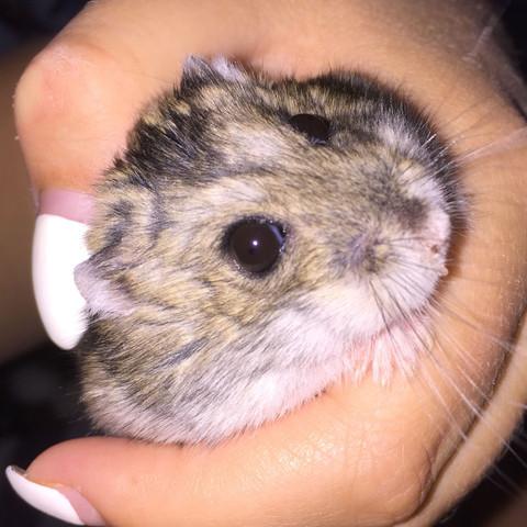 Sieht aus wie ein Eiterpickel... - (Tiere, Hamster, Zwerghamster)