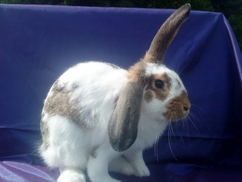 zwerghase oder fleischhase kaninchen hasen zwergkaninchen