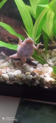 Zwergkrallenfrosch trächtig oder Krank ?