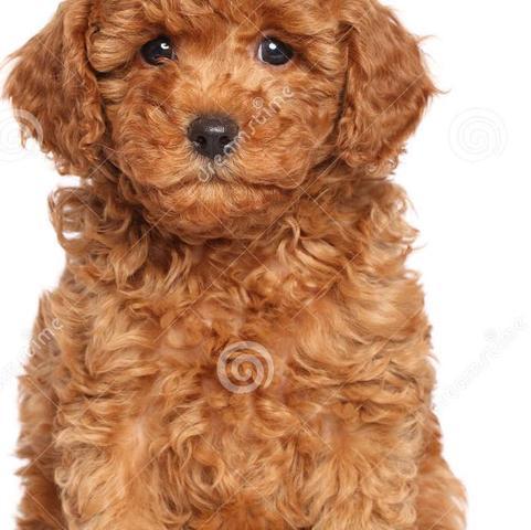 Soll ungefähr diese Mischung sein  - (Hund, Züchter, Pudel)