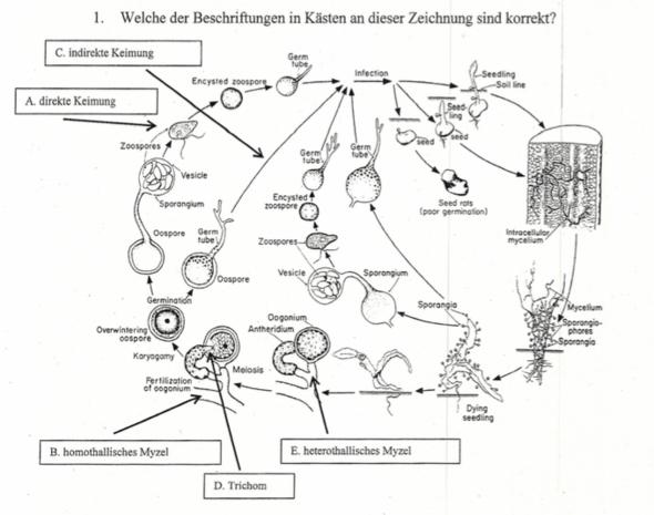 Zyklus von Phytium sp - (Studium, Biologie, Universität)